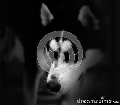 Blue Eyes, Husky