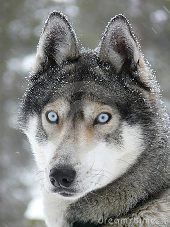 Blue eyes husky dog