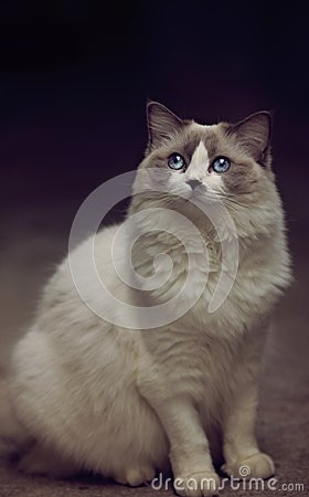 Free Blue Eyes Ragdoll Cat Beautiful White Female Cat Royalty Free Stock Images - 103114989