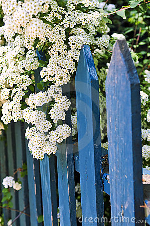 Free Blue Fence With White Flowers Royalty Free Stock Photos - 5504098
