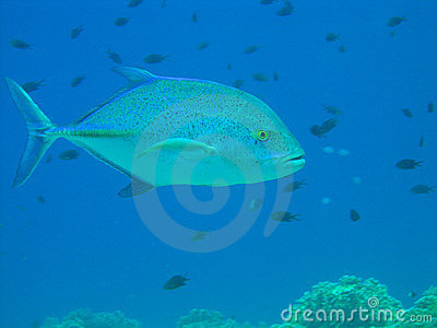 Blue fin jack fish royalty free stock photos image 6480338 for Blue fin fish