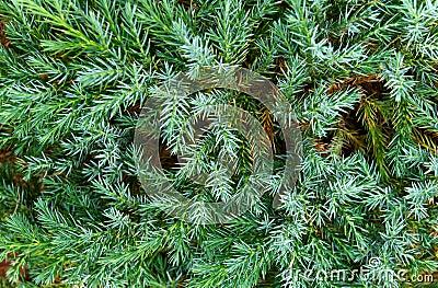 Blue fir