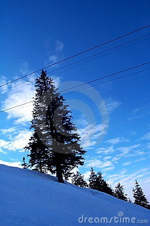 Blue fir tree Stock Photo