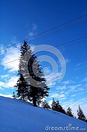 Blue fir tree