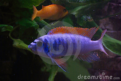 Blue fish red fins stock photos image 2298453 Freshwater fish with red fins