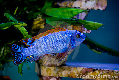 Blue fish red fins 3 stock photo image 2128060 Freshwater fish with red fins
