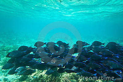Blue fishes in Caribbean Sea