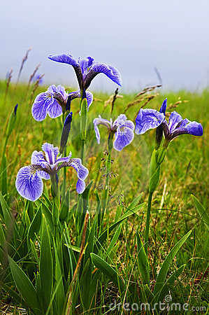 Blue flag iris flowers