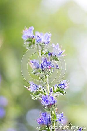 Blue bedder - Flower