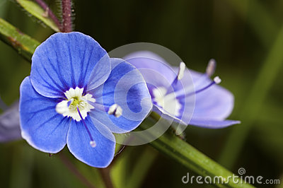 Blue flower bloom
