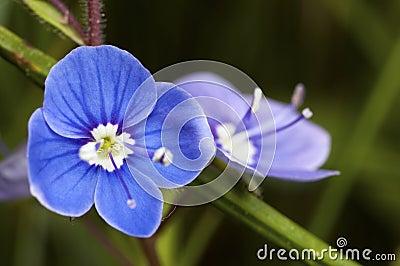 Blue flower bloom