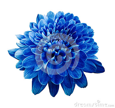 Free Blue Flower Chrysanthemum.  Flower On White  Isolated Background With Clipping Path.  Closeup. No Shadows. Royalty Free Stock Photography - 91273467