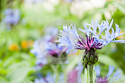 Blue flower in sunny summer day