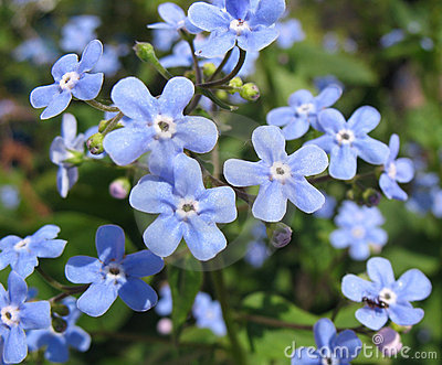 The blue flowers of Brunnera