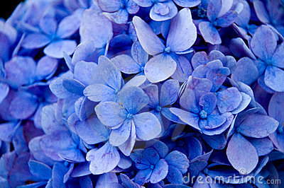 Blue flowers - close up