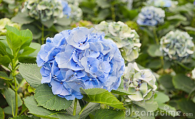 Blue flowers in a Dutch Hydrangea nursery