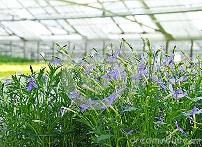 Blue flowers in a greenhouse