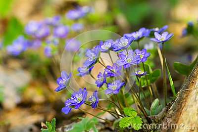Blue flowers of Hepatica Nobilis close-up