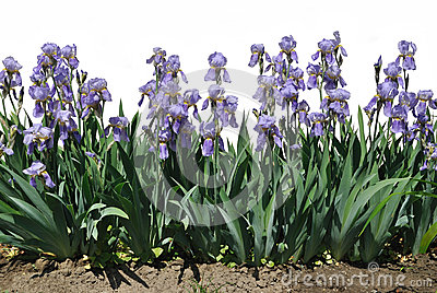 The blue flowers of iris