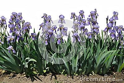 The blue flowers of iris