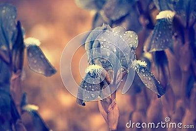 Blue flowers after rain