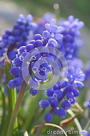 Blue flowers. Spring