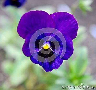 Blue flowers violet