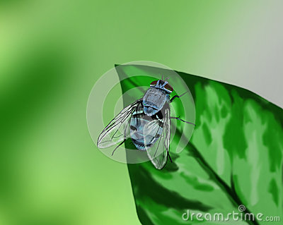 Blue fly on a leaf - hand drawn