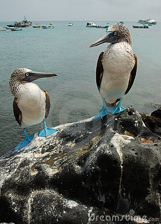 Free Blue Footed Boobies Stock Photo - 475740