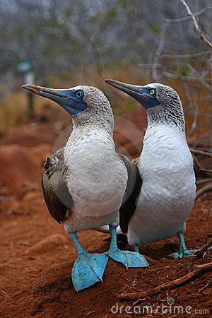 Free Blue Footed Booby Stock Photo - 7097670