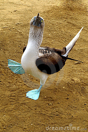 Free Blue-footed Booby Royalty Free Stock Photo - 7920965