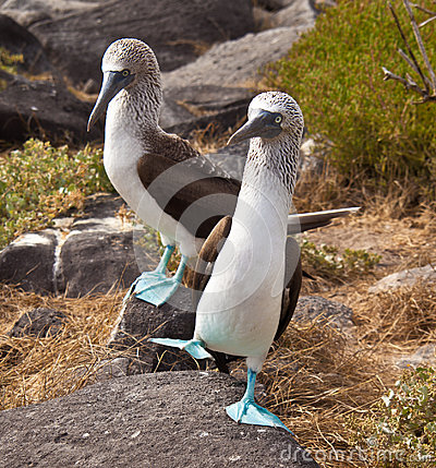Free Blue-Footed Booby Royalty Free Stock Photos - 97436408