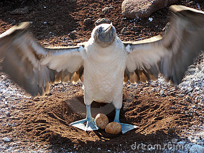 Blue Footed Booby with egg