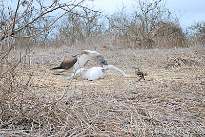 Blue footed booby with offspring (Sula nebouxi)
