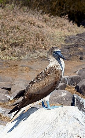 Blue-Footed Booby Poses on a Rock