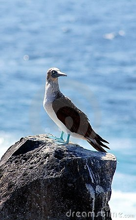 Blue-Footed Booby Poses by the Sea