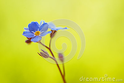 Blue forget-me-grow