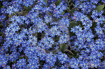 Blue Forget Me Not Flowers Royalty Free Stock Photo - Image: 4945235