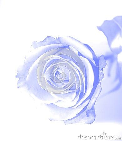 Free Blue Gauzy Rose Royalty Free Stock Image - 3279916