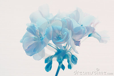 Blue Geraniium