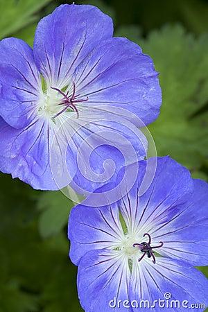 Free Blue Geranium Flowers Stock Photography - 41558072