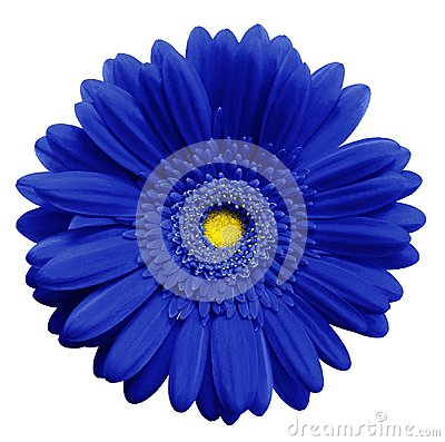 Free Blue  Gerbera Flower, White Isolated Background With Clipping Path.   Closeup.  No Shadows.  For Design. Royalty Free Stock Photos - 105579178