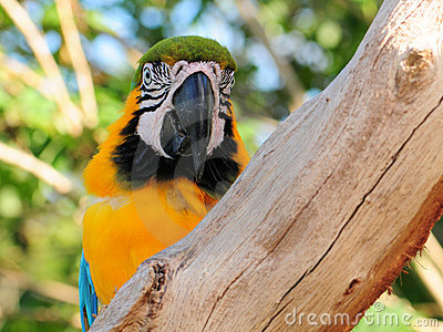 Blue-and-gold Macaw Bird