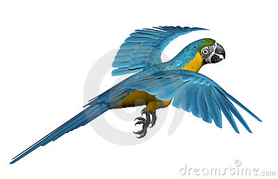 Blue and Gold Macaw Flying
