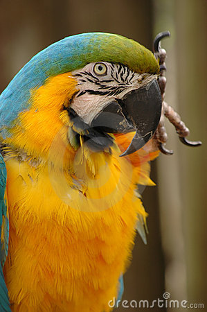 Blue-and-gold macaw head and upper body