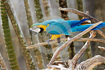 Blue-and-gold macaw in nature surrounding