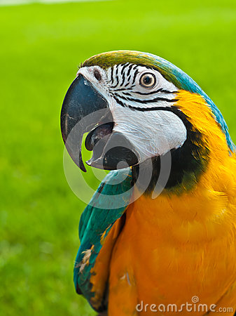 Free Blue, Gold Macaw Rescued Parrot Royalty Free Stock Image - 95861306