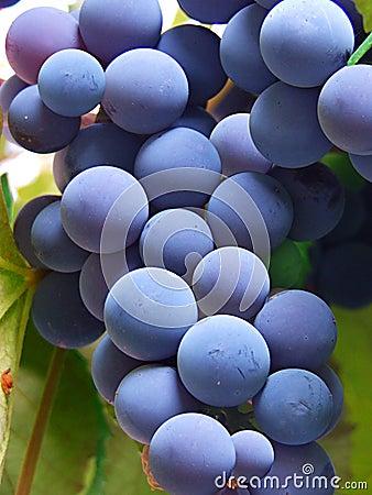 Free Blue Grapes Stock Photo - 229540