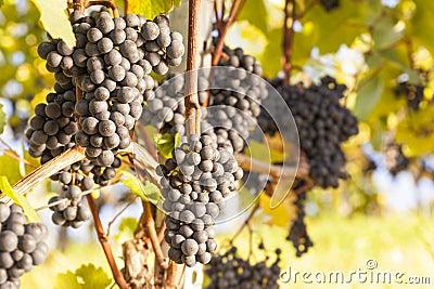 Blue grapes on vine.