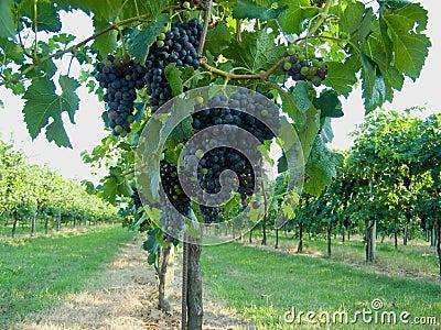Blue grapes vineyard